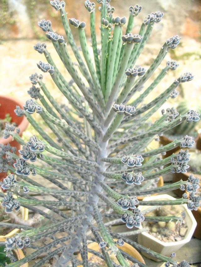 Бриофиллум трубчатоцветковый (Bryophyllum delagoense)