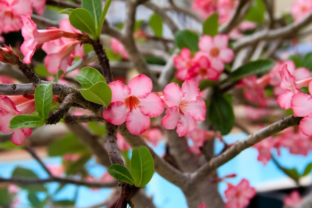 Адениум дома от семян до растений Выращивание и уход