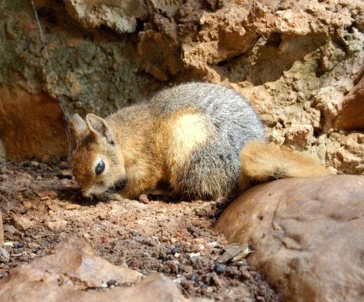 Белка персидская (Caucasian Squirrel)