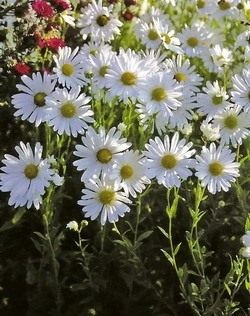 Хризантема поздняя или осенняя (Chrysanthemum serotinum)