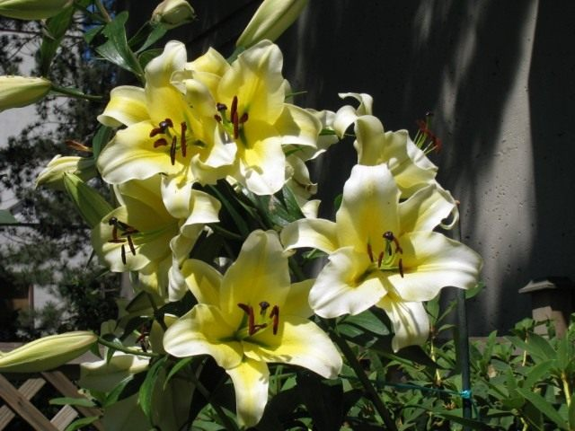 """Лилия """"Conca d'Or"""". Группа ориенпеты или ОТ-гибриды (Lilium """"Conca d'Or"""". OT-hybrids)"""