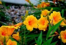 Лилейник – улыбка солнца