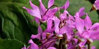 Додекатеон (Dodecatheon)