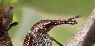Вишнёвый слоник, или Вишнёвый долгоносик (Epirhynchites auratus)