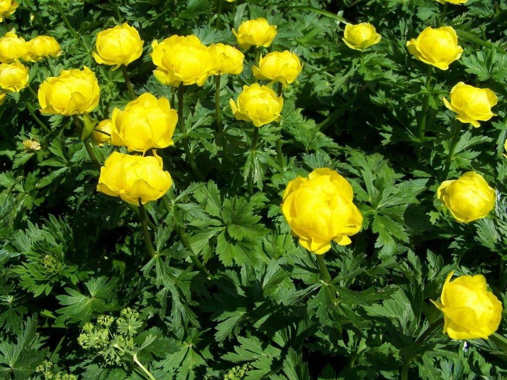 Купальница цветок фото описание