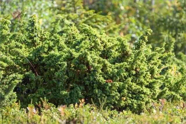 Можжевельник обыкновенный (Juniperus communis var. saxatilis), ранее выделяли как самостоятельный вид Можжевельник сибирский (Juniperus sibirica)