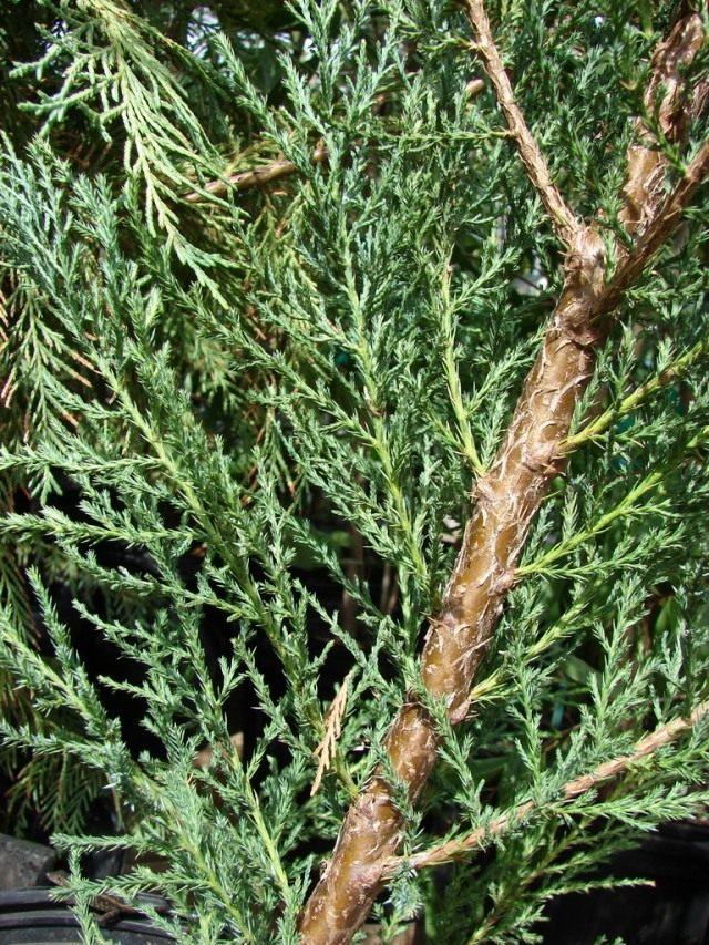 Можжевельник виргинский, или Можжевельник вирджинский (Juniperus virginiana)