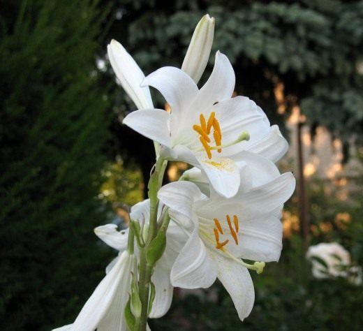 Лилия Белоснежный гибрид - Кандидум гибрид (Lily Candidum Hybrid)
