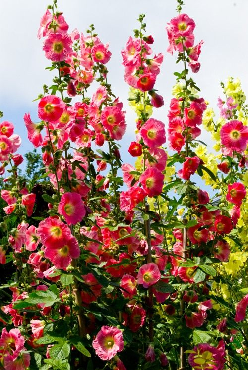 Садовые цветы мальва