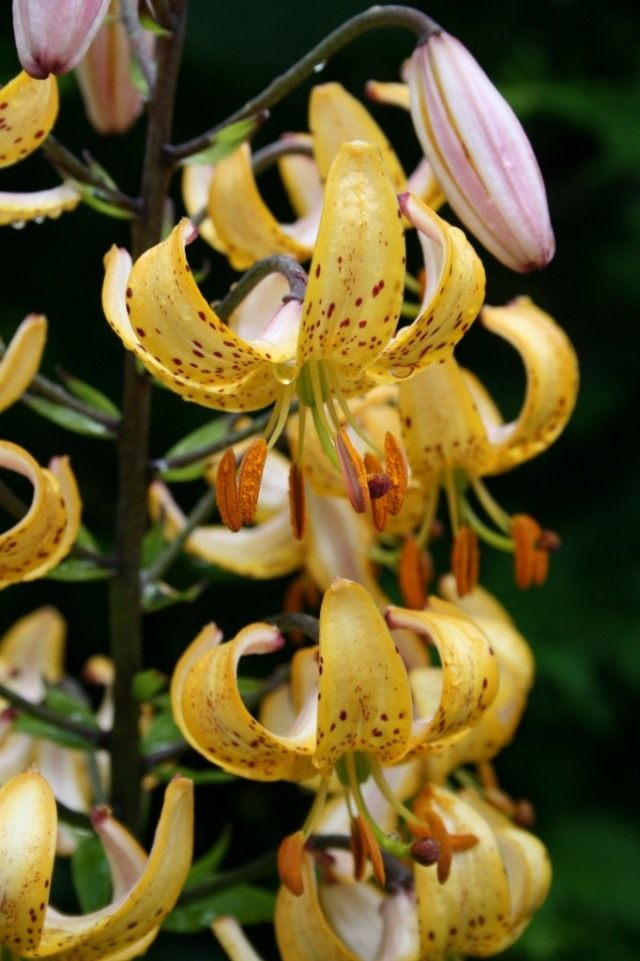 "Лилия ""Mrs. R.O.Backhouse"". Группа Мартагон гибриды (Lilium ""Mrs. R.O.Backhouse"". Martagon Hybrids)"