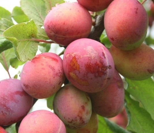 Плоды сливы, сорт Опал