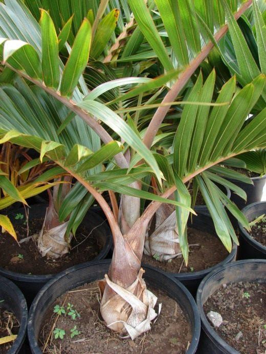 От чего сохнет пальма в домашних условиях