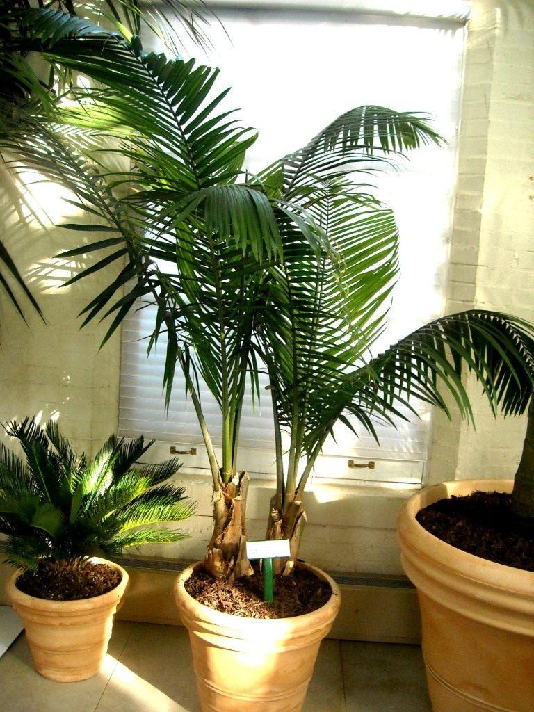 Панданус уход в домашних условиях сохнут листья 67