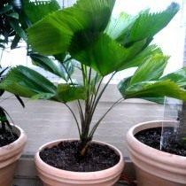 Пальма Ликуала большая (Licuala grandis)
