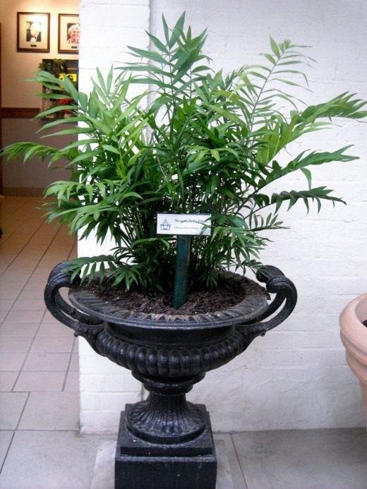 Пальма Хамедорея изящная (Chamaedorea elegans)