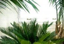 Почему у пальмы сохнут листья?