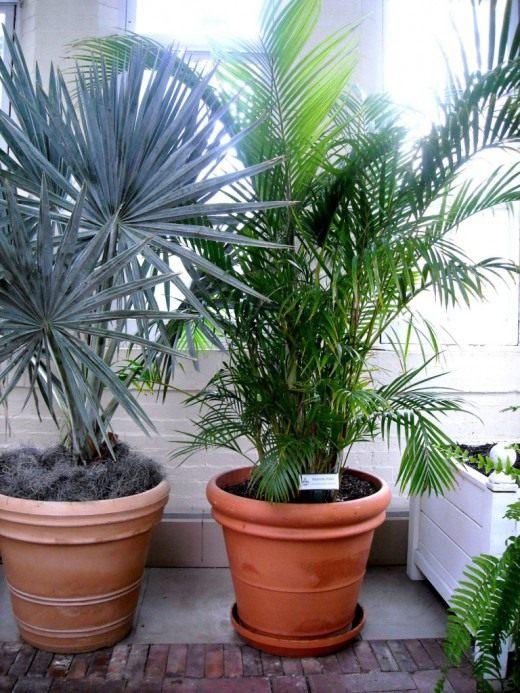 растение пальма