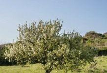 Закладываем грушевый сад, некоторые особенности посадки