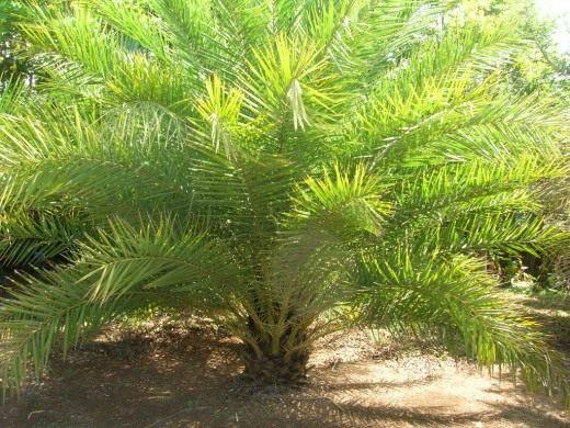 Финиковая пальма phoenix palm