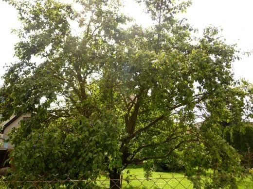 Взрослое сливовое дерево