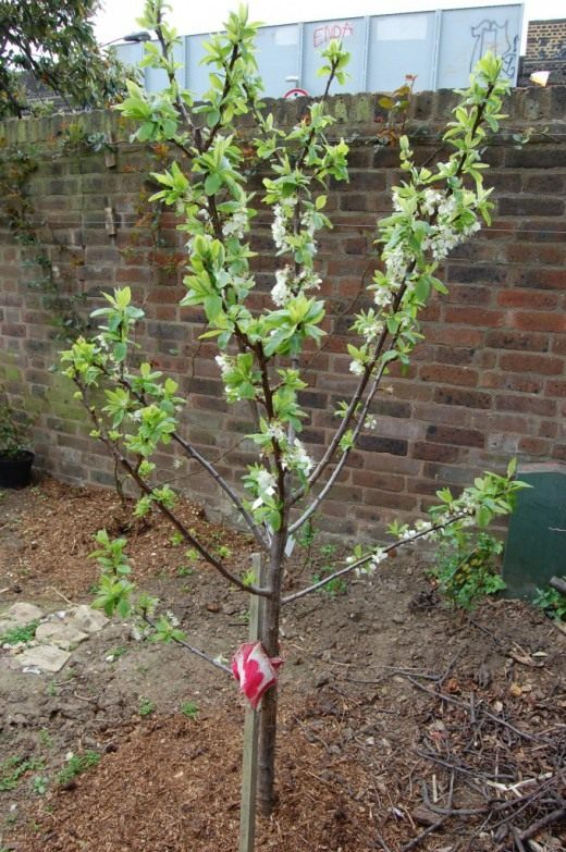 Молодое сливовое дерево
