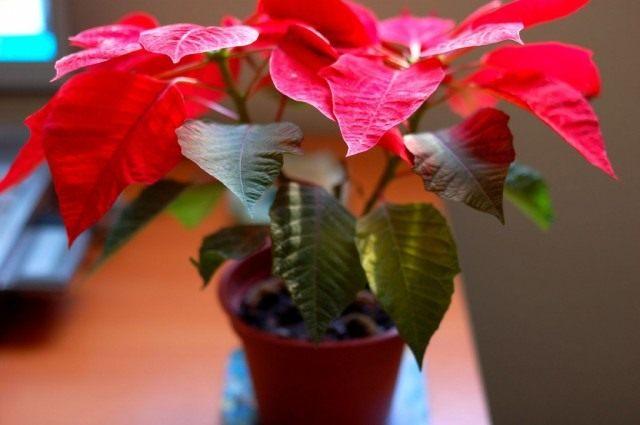 Вопреки распространенному мнению, никакие части растения не ядовиты. Сок молочая красивейшего может вызывать раздражение кожи у людей с аллергией на латекс