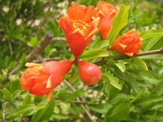 Цветение комнатного граната (Гранат обыкновенный (Punica granatum))