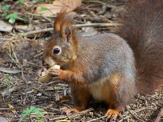 Белка обыкновенная (Red Squirrel)