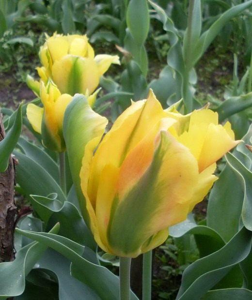 Тюльпан Зеленоцветный
