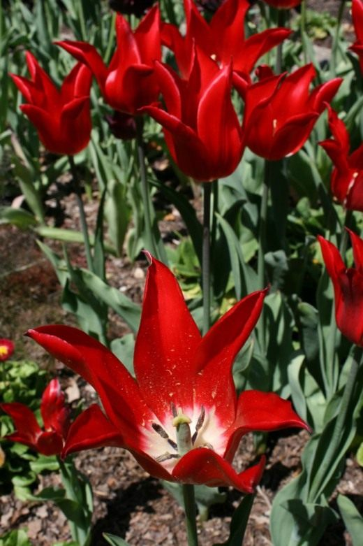 Тюльпан Лилиецветный