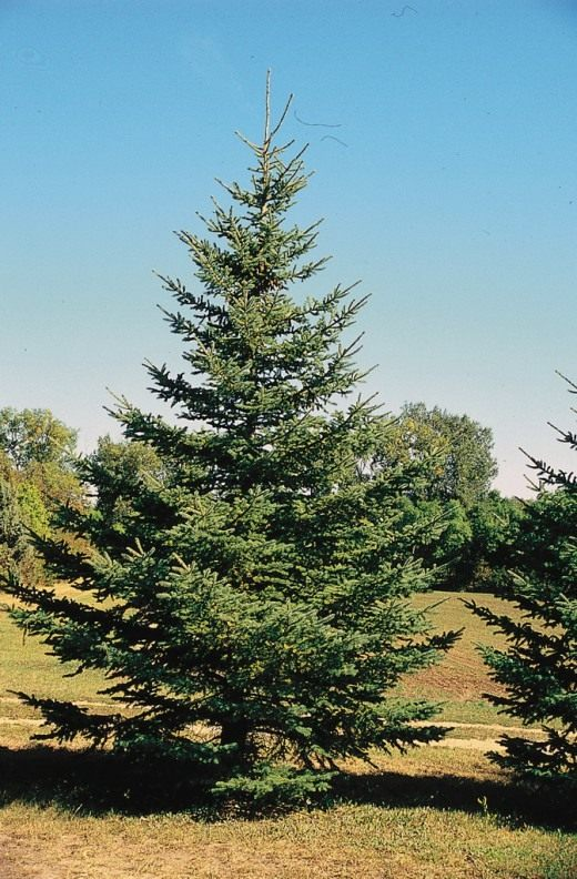 White-Spruce-520x792.jpg