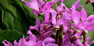 Додекатеон — гусиный цвет