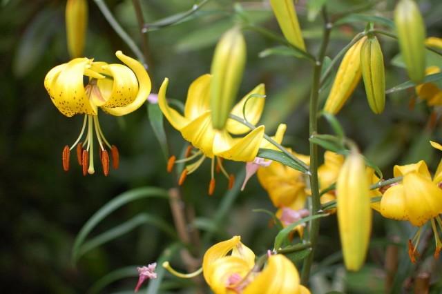 Лилия ланцетолистная, или тигровая «Цитронелла». Группа азиатские гибриды (Lilium lancifolium 'Citronella'. Asiatic hybrids)