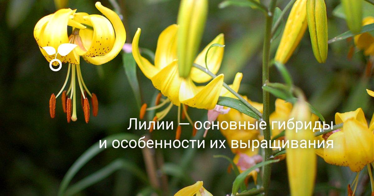 Лилии классификация и выращивание