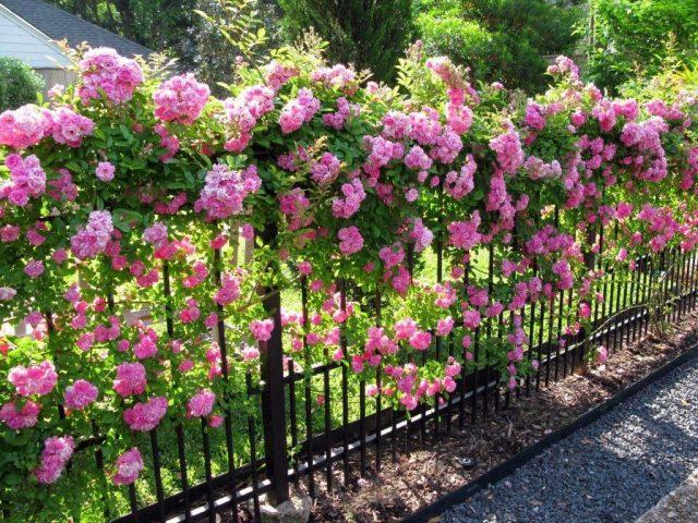 Как и когда лучше сажать плетистые розы