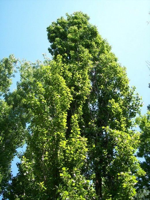 Тополь чёрный или осокорь black poplar