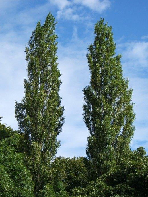 дерево тополь черный фото
