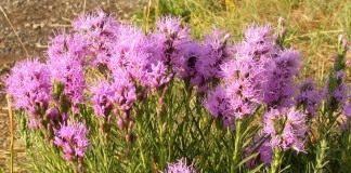 Лиатрис (Blazing-star, Gay-feather or Button snakeroot)