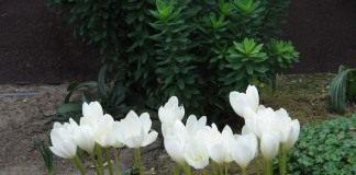 Безвременник великолепный (Colchicum magnificent)