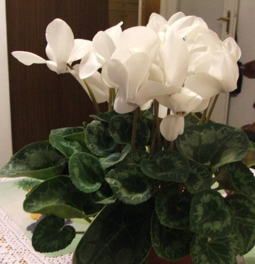 Продаю Cyclamen bigflower white высота 35 см диаметр 30 см диаметр цветов до 10 см -280р.  Красота неземная.