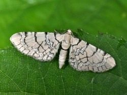 Бабочка пяденицы цветочной сетчатой (Eupithecia venosata)