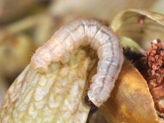 Гусеница пяденицы цветочной сетчатой (Eupithecia venosata)