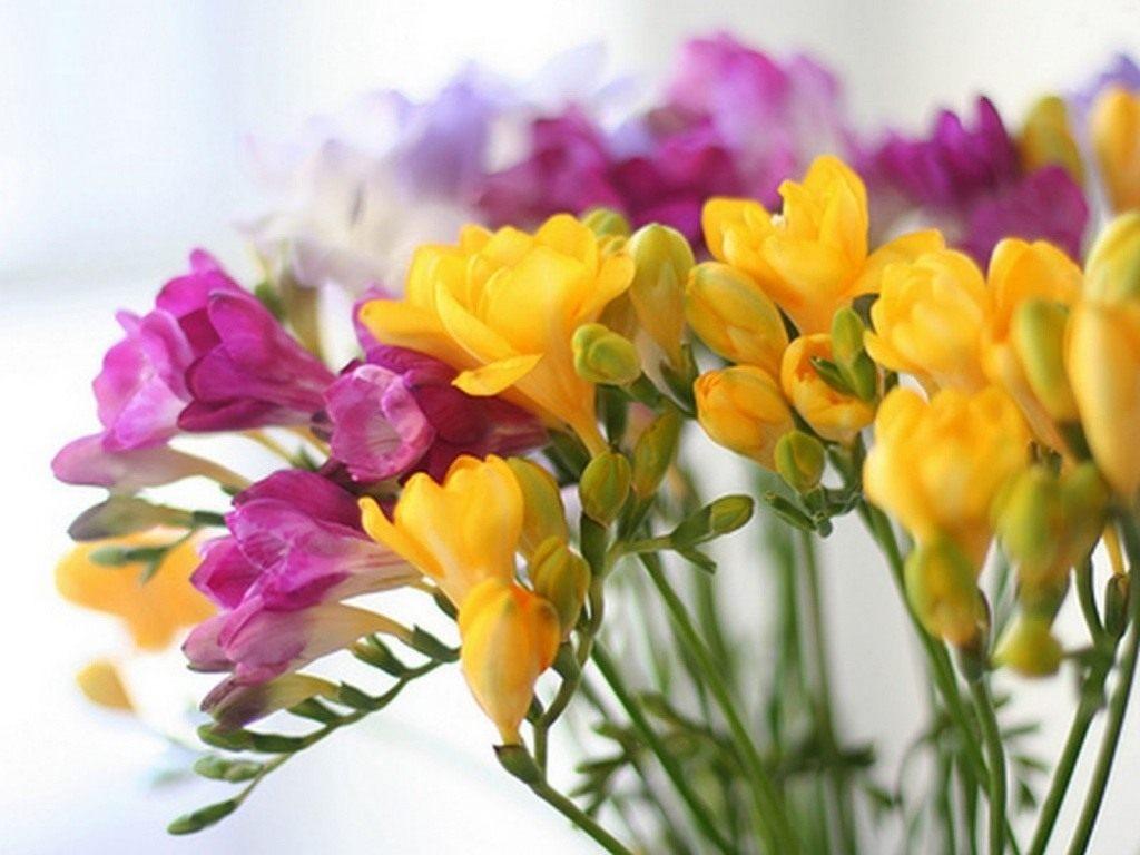 Как выглядит цветок фрезия