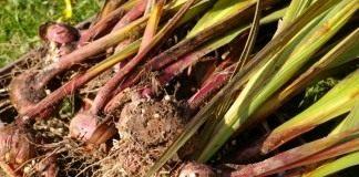 Выкопанные луковицы гладиолусов