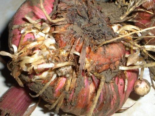 Проверяем луковицы гладиолусов на признаки болезней
