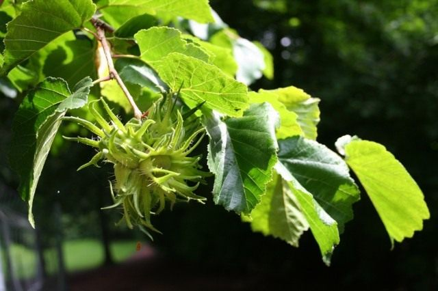 Лещина, или орешник (Corylus)