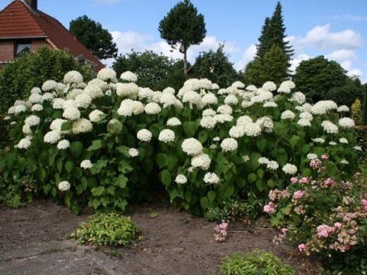 Гортензия древовидная 'Анабель' (Hydrangea arborescens 'Annabelle')