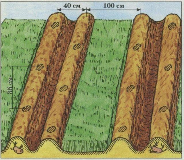Схема размещения картофели и ржи на участке