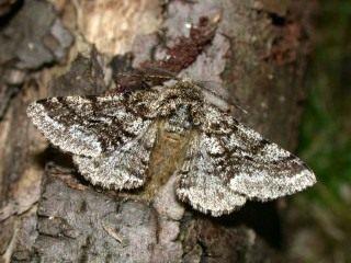 Бабочка пяденицы-шелкопряда бурополосой, или пяденицы-шелкопряда волосистой (Lycia hirtaria)