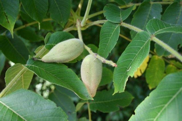 Листья и незрелые плоды ореха маньчжурского